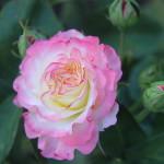 Hamilton Rose Garden 3