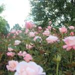 Hamilton Rose Garden 4