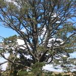 Hobbiton Meeting Tree
